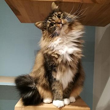 Fabian, Norwegian Forest Cat