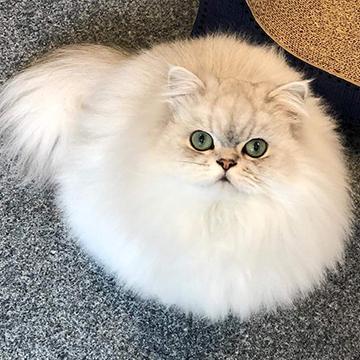 Guillaume, Chinchilla Persian